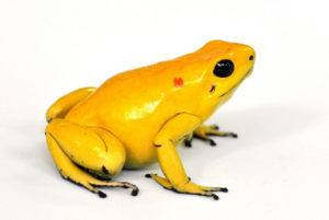 Yellow poison dart frog isolated on the white.