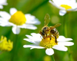 Bee on the chamomile flower.
