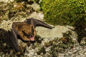 Big brown bat in the nature.