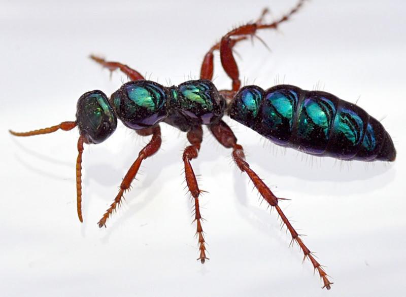 Blue ant on white background