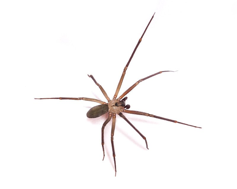 Shot of a brown recluse spider on white