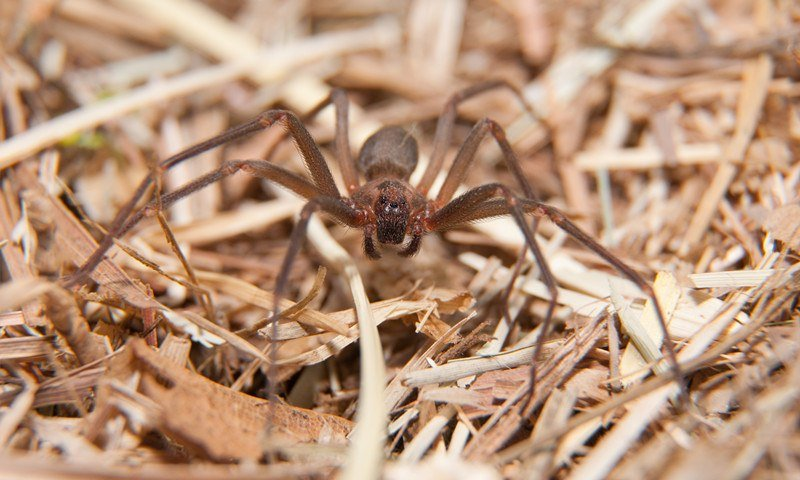 Brown recluse spider in dry winter grass