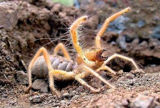 Camel spider with big mouth opened