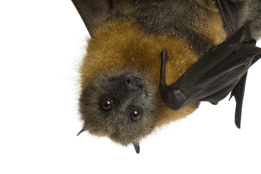 Fruit bat hanging upside down on the white.
