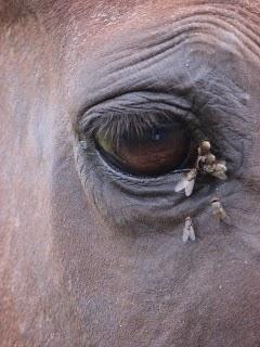 horse fly surrounding the horse's eye