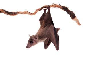 Fruit bat hanging upside down on the branch.