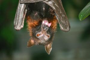 Close up of fruit bat tongue.
