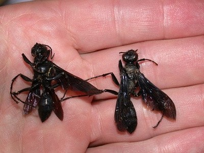 Dead great black wasp on hand