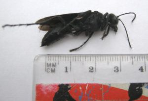 Measuring the great black wasp
