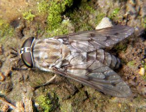 Horse fly on plants