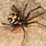 Close up of northern black widow spider