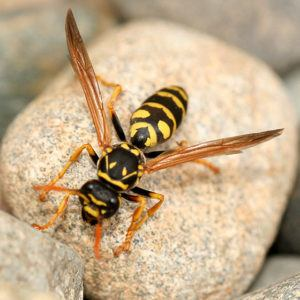 Paper wasp resting on rock