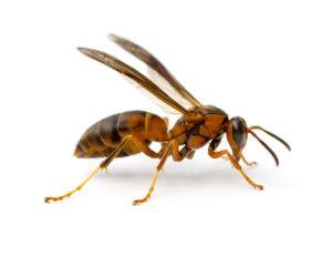 Paper wasp lying on white background