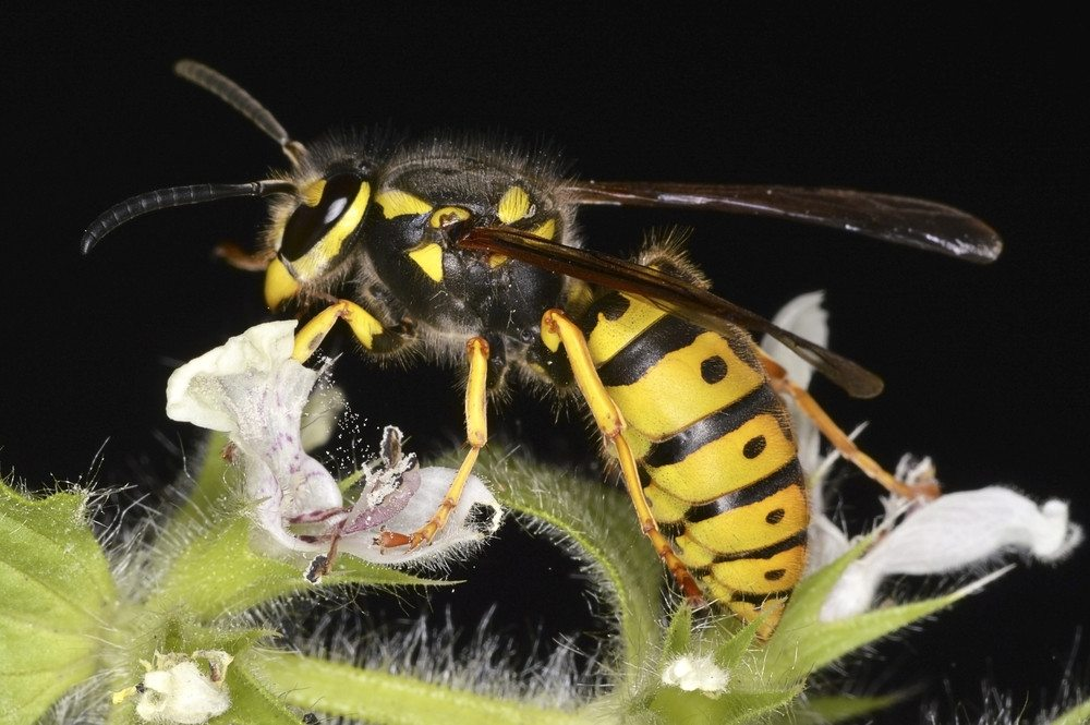 Social wasp isolated on the flower.