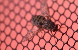 Tsetse fly on iron net