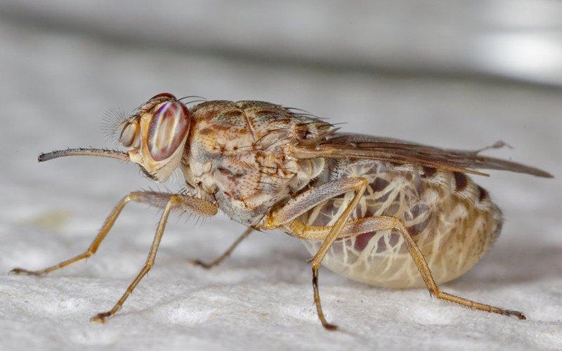 Photograph of tsetse fly