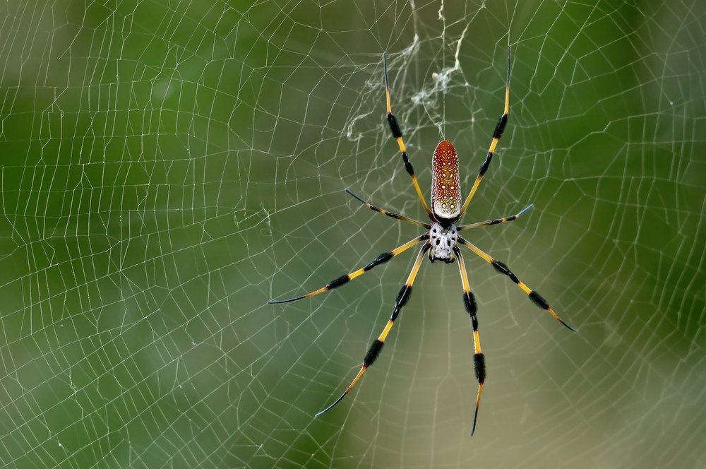Banana Spider Facts And Bite Treatment Pest Wiki
