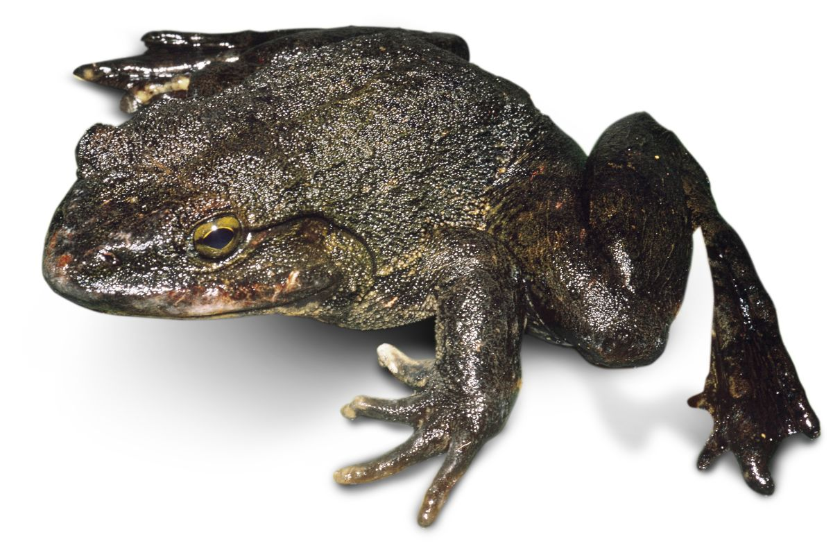 Black goliath frog on the white.
