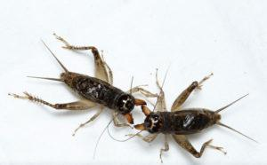 Crickets fight each other on the white.