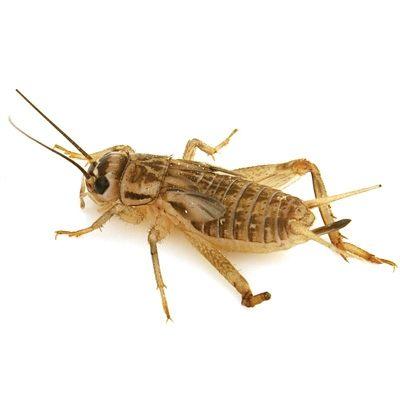 Single cricket on the white.