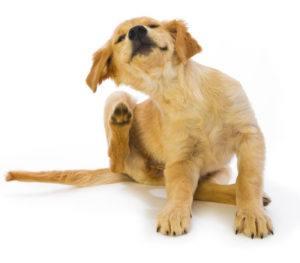 Dog with lice infestation on white background.