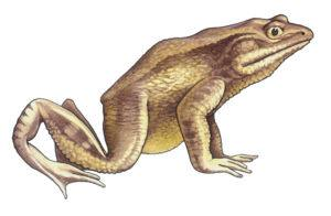 Goliath frog on the white.