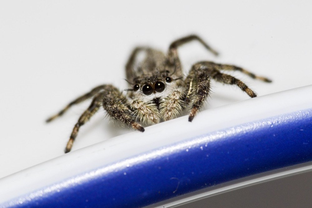 Extreme macro of a grey jumping spider.