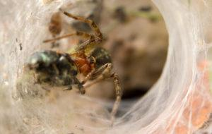 Close-up of a Hobo spider catching a small beetle.