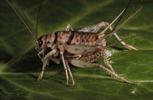 Two crickets are mating on the leaf.