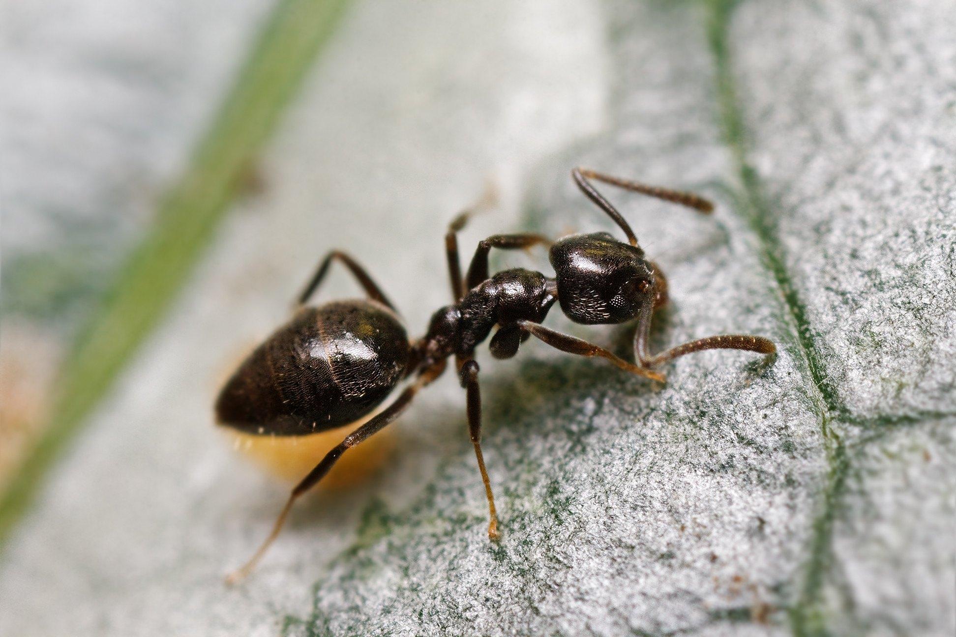 """Attēlu rezultāti vaicājumam """"Odorous House Ants"""""""