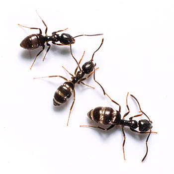 Three odorous house ants isolated on the white.