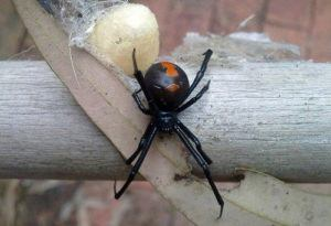 Redback Spider with egg sack on a branch.