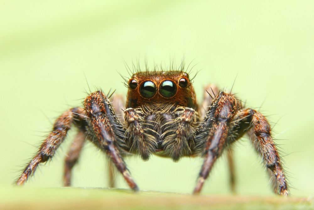 Jumping spider isolated on light green background.