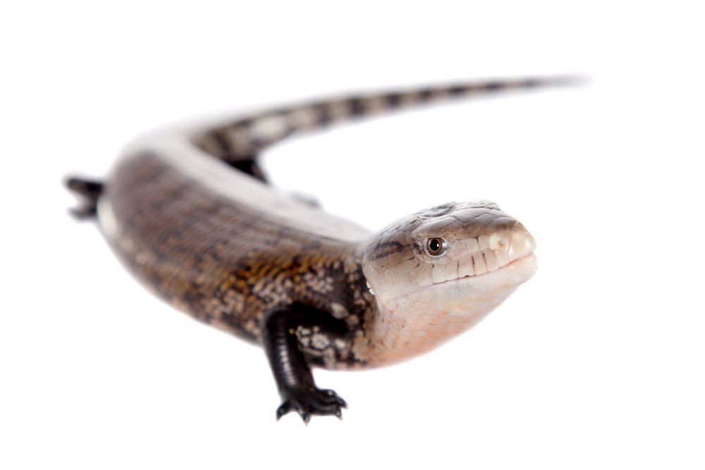 Blue-tongued skink on the white.