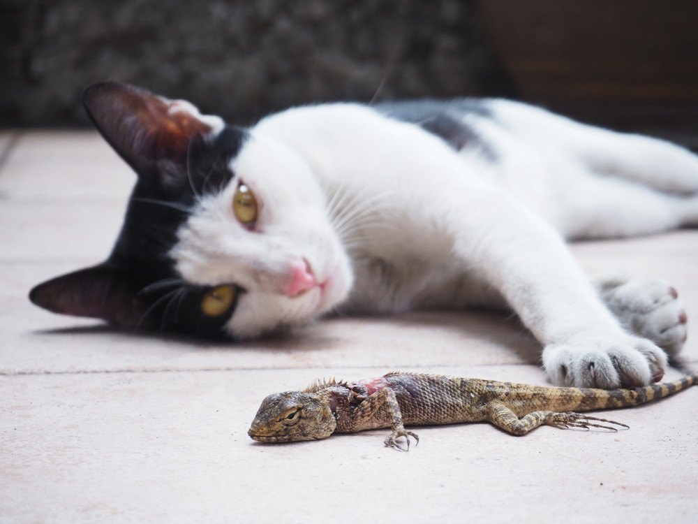 Cat catching lizard and guarding its from the others.