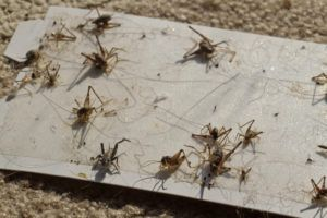 Close up of a sticky cricket trap full of dead, decapitated crickets.