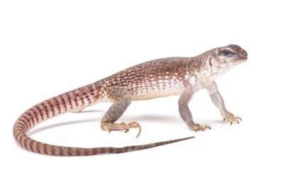 Desert iguana on the white.