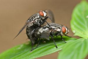 Macro shot of two flesh fly mating.
