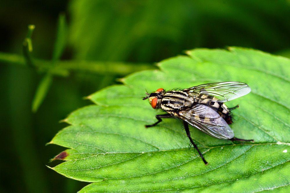 Flesh fly close up on green leaf.