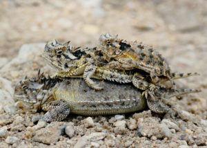 Horned lizard family piled up.