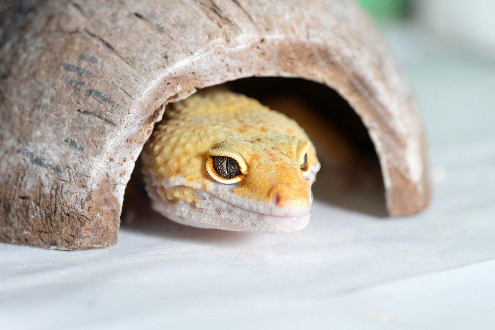 Yellow lizard hiding sitting the ceramic coating.