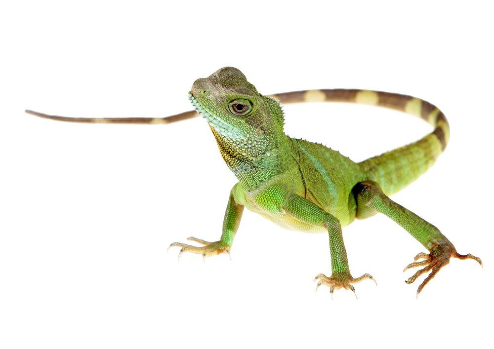 12 Home Remedies to Get Rid of Lizards & 7 Commercial