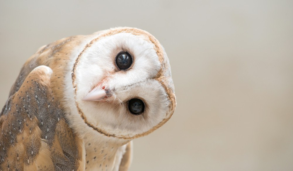 Common barn owl head close up.
