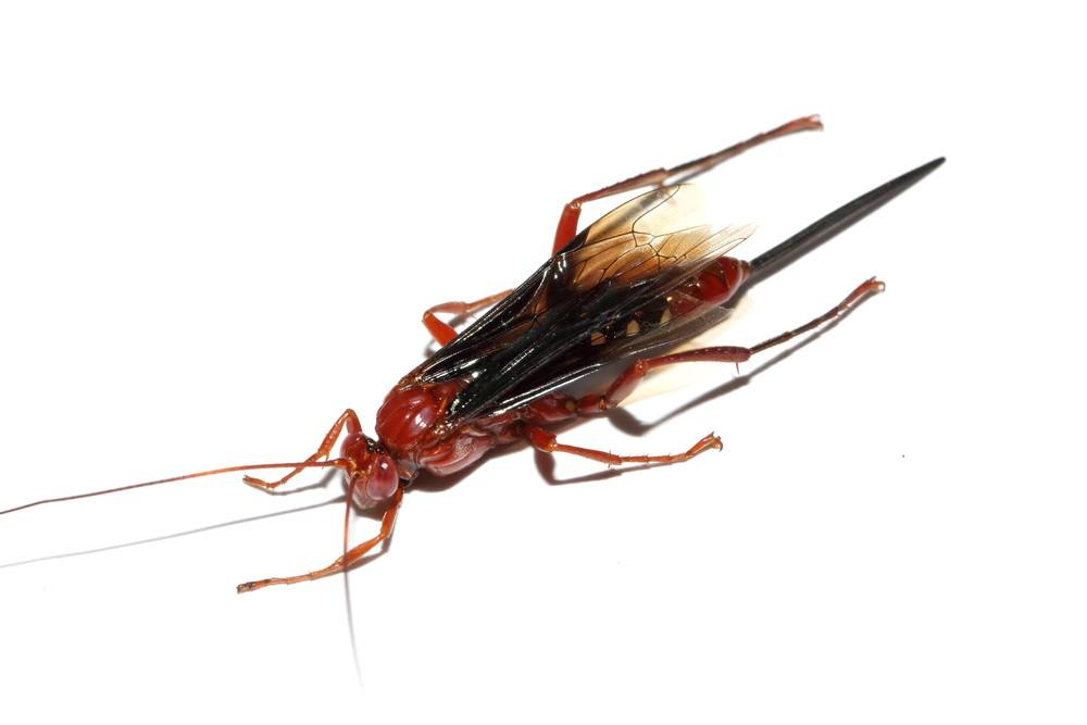 red wasp identification sting how to get rid of them pestwiki