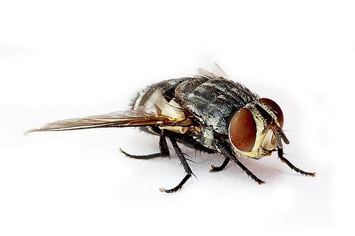How To Get Rid Of Sand Flies Pest Wiki