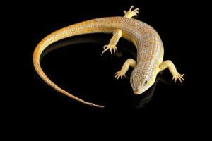 Yellow skink over the black.