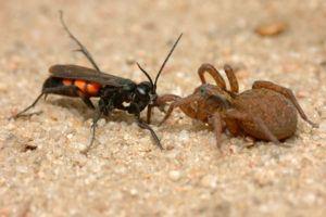 Parasitic wasp Anoplius viaticus with captured wolf spider Trochosa.