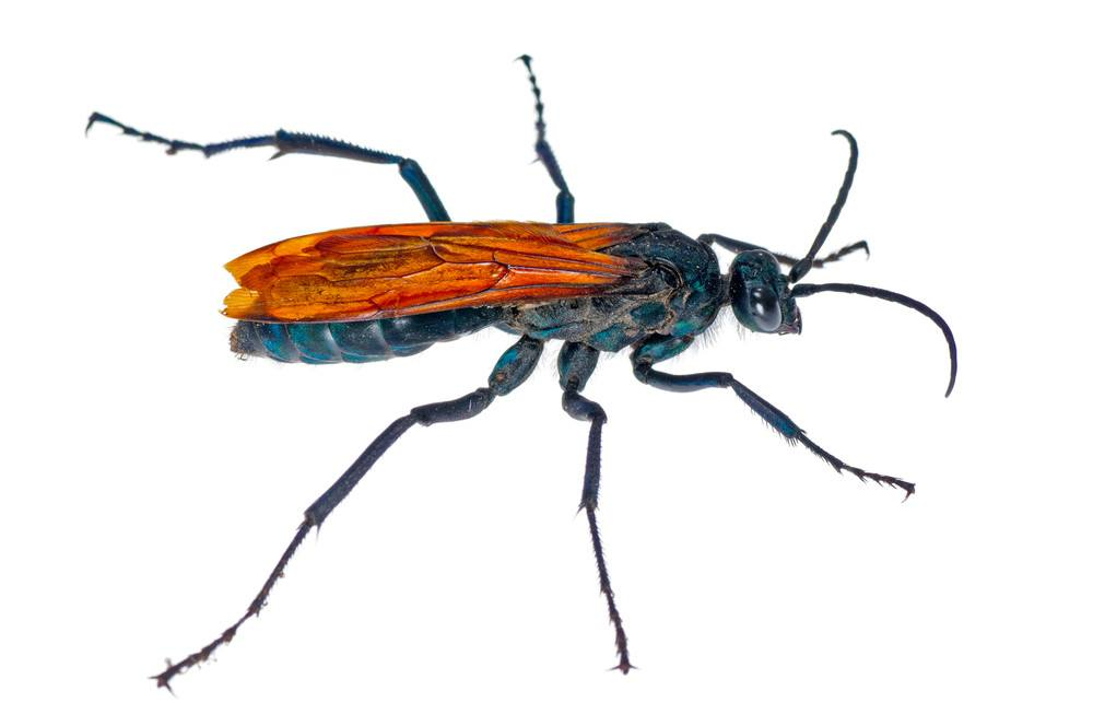 Spider Wasp (Pepsis caridei) isolated on a white background.