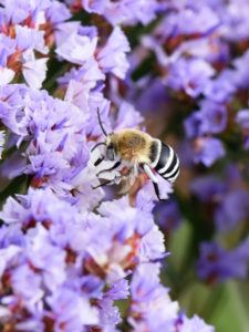 White-banded Digger Bee Amegilla quadrifasciata collecting nectar.