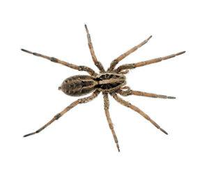 Wolf spider isolated on the white.